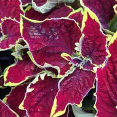 Coleus Crown Jewel Crown Jewels, Plants, Royal Crown Jewels, Plant, Planets