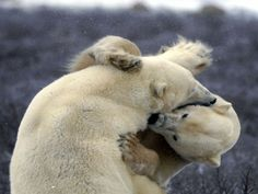 polar-bear-tussle-Brilliant-photography-from-Natgeo-archives