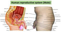 Male reproductive system - MED SNELL Female Reproductive System Organs, Female Reproductive Anatomy, Human Anatomy Female, Human Anatomy Chart, Human Organ Diagram, Body Organs Diagram, Body Anatomy Organs, Human Body Organs, Body Chart
