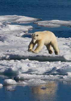 Beautiful Polar Bear in midair....