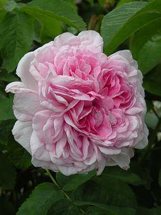 ~Centifolia Hybrid Rose: Rosa 'Gloire de France' (France, c.1828)