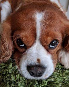 "19 Synes godt om, 2 kommentarer – CSFOTO | Camilla Simonsen (@csfoto.dk) på Instagram: ""Søde og bløde Charlie. #cavalier #cavaliers #cavalierkingcharlesspaniel #cavalierkingcharles #hund…"""