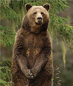Grizzly In The Great Bear Rainforest A Canadian Wilderness I Plan To Visit Soon Brown Bear American Black Bear Bear