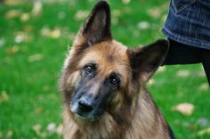 German Shepard Dog. How to teach obedience to this very smart pup.