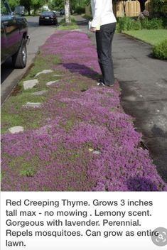 Red Creeping Thyme is a hardy low growing ground cover with dark pink summer flowers, very fragrant and excellent for between paving stones.