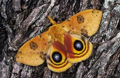 Learn all about moths! Plus, find out the difference between a moth and a butterfly.