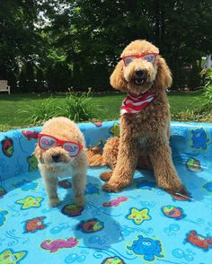Sun's out buns out! Time to catch some #MDW rays before it starts raining again. We asked our cousins to fill up the pool for us to splash around!  . #doodlesofinstagram #dogsofnyc #poodle #bichonfrise #goldendoodle #instagramdogs #puppies #instapuppy #puppygram #mydogiscutest #rescuedog #clubdoodle #ilovemydog #dogmodel #barkbox #barkpack #dogsofinstagram #dog #dogs #dogoftheday #newyorkcity #instapet #dogsofnewyork #dogsofig #instadog #dogstagram #pool #goldendoodlesofinsta #memorialday by…