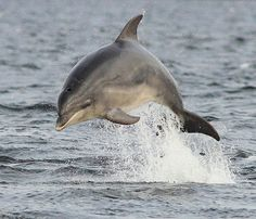Bottlenose Dolphin | Taken from land at Chanonry Point, Fort… | Flickr