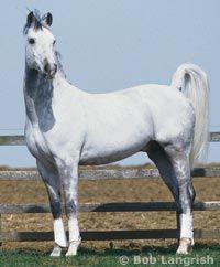 Shagya Arabian