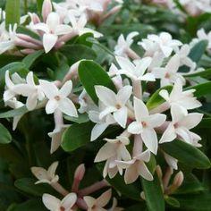 Daphne transatlantica Eternal Fragrance - wintergroen
