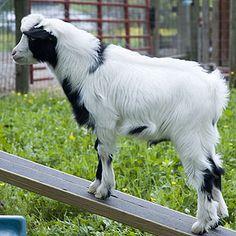 tiny goats for pets | Miniature Silky Fainting Goat | Mini Silkies pets/brief careof