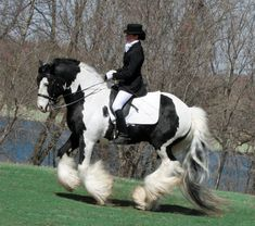 Gypsy Vanner dressage horse. he is so pretty!!!! People usually assume draft horses like gypsy vanners can`t do dressage or jumping, but this proves them wrong!