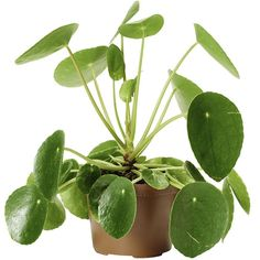 Png for niche memes and niche meme accounts, feel free to use this filler however you want ; Chinese Money Plant, Joko, House Plants, Lush, Greenery, Plant Leaves, Planters, Flowers, Vaser