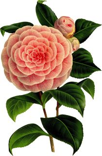 Cliparts flowers. Pictures for decoupage flowers. Flowers for Photoshop.