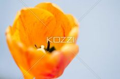 Closed Tulip Against White - Sun shines down on yellow tulip agasint white background