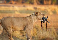 Scatto felino, la leonessa ruba la macchina fotografica