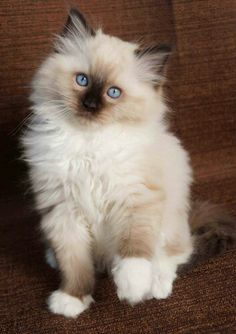 No words for how cute this ragdoll kitten is...