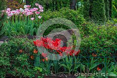Blossomed red tulips and Tulipa Gesneriana in the garden