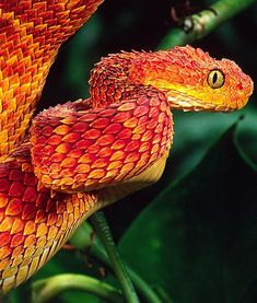 African Bush Viper. Family: Viperidae Habitat: Remote rainforest regions. These vipers usually ambush their prey from a hanging position.