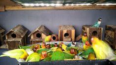burung lovebird koloni Malang, Love Birds, Outdoor Decor, Home Decor, Decoration Home, Room Decor, Home Interior Design, Home Decoration, Interior Design