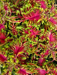 Coleus 'Under the Sea.' This new line of coleus bred by Canadian college students as a class project is the year's most unusual introduction