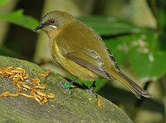 Female Bellbird Australia