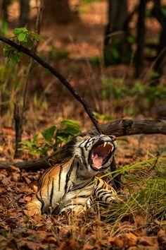 tiger walking towards on green leaf plant during daytime photo – Free Tiger Image on Unsplash Tiger Walking, Great Pacific Garbage Patch, Hd Photos, Stock Photos, Tiger Images, National Animal, Shot Photo, Animal Wallpaper, National Geographic Photos