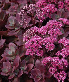 Sedum-firecracker  LifeCycle: Perennial   Zone: 4-9   Sun: Full Sun   Height: 4-6  inches  Spread: 16-18  inches  Bloom Season: Summer   Uses: Borders, Cut Flowers