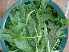 Woad leaves