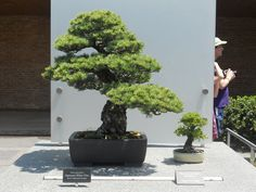 bonsai @ chicago botanic gardens