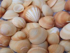Sea Shells  Florida  under 10   Sale by TheSandbar on Etsy, $9.99