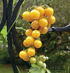 White Currant Tomato - 70-75 days. Treat yourself to one of the most unique and sweetest tasting tomato varieties known. The tiny fruit are half the size of a cherry tomato and grow in nice heavy clusters. Creamy-white in color with just a tinge of yellow. Deliciously sweet, a favorite of many trial ground visitors. Indeterminate.