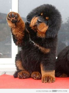 Tibetan Mastiff Puppy being cute looking like a bear.