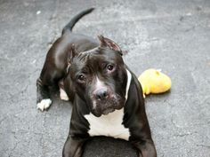 TO BE DESTROYED - 04/24/14  Manhattan Center -P   My name is TYSON. My Animal ID # is A0996281.  I am a neutered male black and white staffordshire mix. The shelter thinks I am about 3 YEARS old.   I came in the shelter as a OWNER SUR on 04/21/2014 from NY 10472, owner surrender reason stated was PET HEALTH.