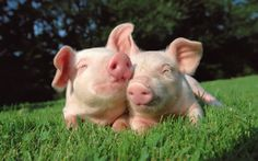 pictures of pigs | Pigs | Fun Animals Wiki, Videos, Pictures, Stories