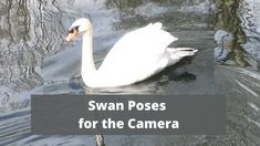 "Swan poses for camera "" Nature is beautiful "" outside family walks"