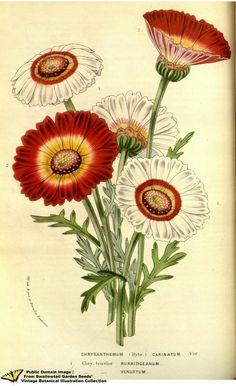 Tricolor chrysamthemum. Ismelia carinata - syn. Chrysanthemum carinatum. Flore des serres et des jardins de l'Europe v.13 (1858)   by Swallowtail Garden Seeds