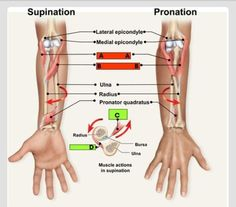 Pronation and supination of the forearm