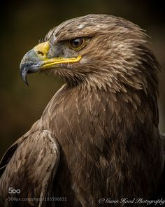 The beautiful Steppe Eagle. Wonderful bird of prey that has the most amazing feather pattern around the sides of the skull. So much detail and emotion in that gorgeous face. Eagle Pictures, Bird Pictures, Harpy Eagle, Bald Eagle, Eagle Bird, All Birds, Birds Of Prey, Beautiful Birds, Animals Beautiful