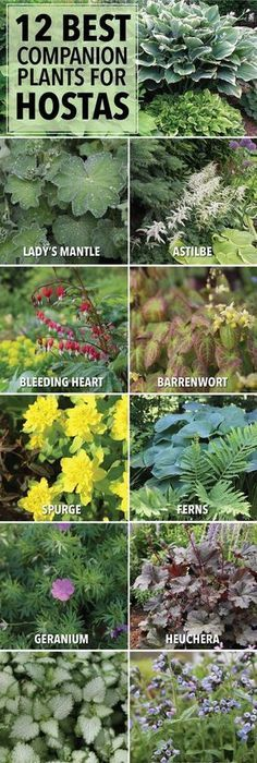Companion Planting Companion plants for hostas. - Hostas can hold their own in a shade garden, but pairing them with bulbs and other perennials will accentuate their natural beauty and extend the season. Hosta Gardens, Garden Shrubs, Lawn And Garden, Garden Shade, Backyard Shade, Veggie Gardens, Garden Beds, Ferns Garden, Shaded Garden