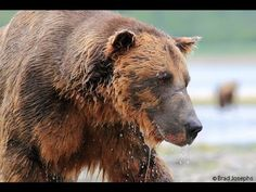 """A grizzly Ate My GoPro!!! GoPro HD.  """"Here's a video of biologist Brad Josephs's GoPro camera being eaten by a grizzly bear in Alaska; he'd set it out in order to get footage for a BBC documentary. The grizzly went above and beyond the call of duty."""" via Cory Doctorow at BoingBoing."""