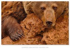 Red Brown Bear by Marsel van Oosten, via Flickr