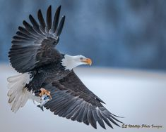 Wildlife Photo of the Day - February 21, 2018: While out for a walk through one of our parks in the city the eagle retrieves a fish from the Nechako River.