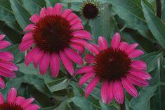 Big Sky™ After Midnight Coneflower  Echinacea purpurea x paradoxa