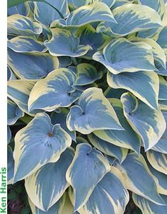 H. First Frost' Hosta of the Year 2010