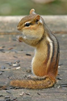 Eastern Chipmunk (Tamias striatus) - the largest chipmunk in North America, Eastern Chipmunks also have the broadest distribution.