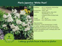 pieris japonica white pearl - Google zoeken