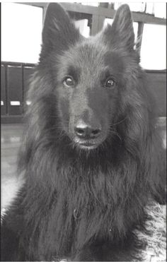 My beautiful belgian shepherd Bailey, 5 years old. #belgianshepherd #awesome #cute #dog #groenendael #belgian #sheepdog