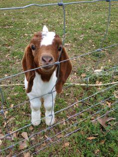 I love baby goats!