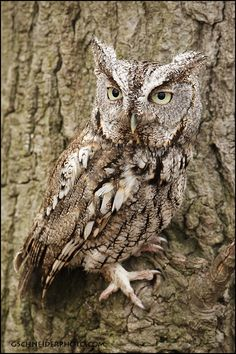 Eastern Screech Owl-saw parents and owlets living near my aunt and uncle's house. So beautiful!
